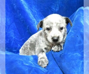 Australian Cattle Dog Puppy for sale in GROVESPRING, MO, USA