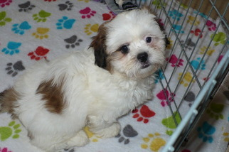 Shih Tzu Puppy for Sale in ORO VALLEY, Arizona USA
