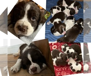 English Springer Spaniel Puppy for sale in CASTLE, PA, USA