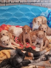 Goldendoodle Puppy For Sale in CHEYENNE, WY, USA