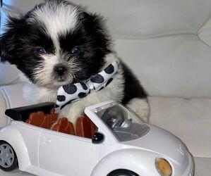 Shih Tzu Puppy for sale in CROSSINGS, FL, USA