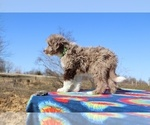 Small Photo #5 Aussiedoodle Puppy For Sale in UNION CITY, TN, USA