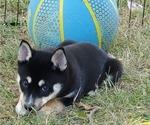 Puppy 3 Shiba Inu-Siberian Husky Mix