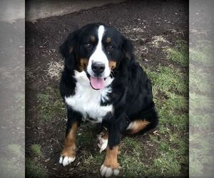 Mother of the Bernese Mountain Dog puppies born on 10/12/2019