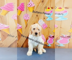 Labradoodle Puppy for sale in LITTLESTOWN, PA, USA
