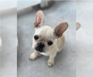 French Bulldog Puppy for Sale in MIAMI, Florida USA