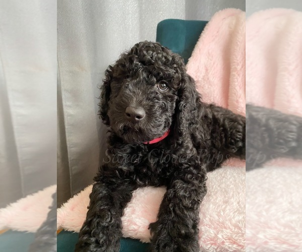 Medium Photo #2 Sheepadoodle Puppy For Sale in DUNCAN, OK, USA