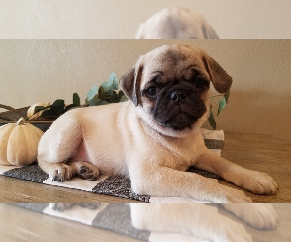 Medium Photo #1 Pug Puppy For Sale in STACYVILLE, IA, USA