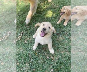 Golden Retriever Puppy for sale in SAN JOSE, CA, USA