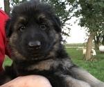Small #44 German Shepherd Dog