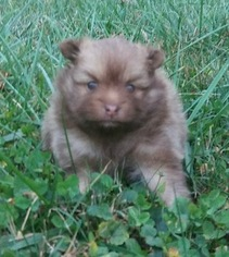 Pomeranian Puppy For Sale in BETHEL, OH, USA