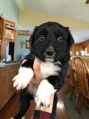 Australian Shepherd Puppy For Sale in GENOLA, MN, USA