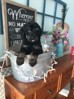 Bernedoodle puppy