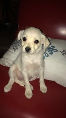 Malchi Puppy for sale in TUCSON, AZ, USA