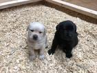 Labrador Retriever Puppy For Sale in MARBLE FALLS, TX, USA