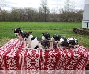 Rat Terrier Puppy for sale in COTTAGE GROVE, TN, USA
