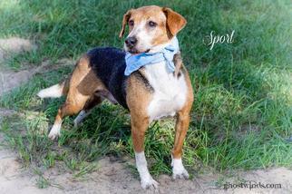 Sport - Hound Dog For Adoption