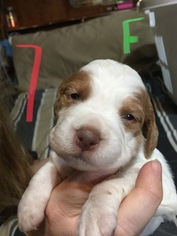 Brittany Puppy For Sale in FORT WORTH, TX, USA