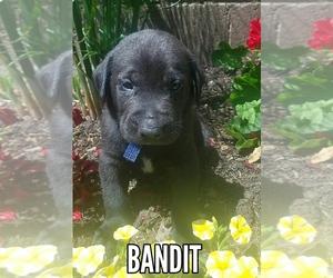 Labrador Retriever Dog for Adoption in CATO, New York USA