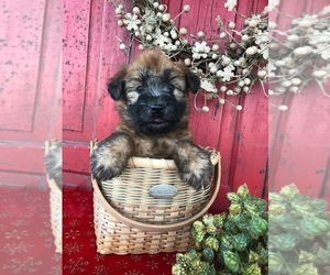 Soft Coated Wheaten Terrier Puppy for sale in BROOK PARK, PA, USA
