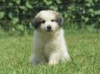 Great Pyrenees Puppy For Sale near 22712, Bealeton, VA, USA