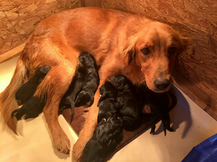 Mother of the Golden Mountain Dog puppies born on 12/20/2018