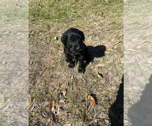 Labradoodle Puppy for sale in HOCKLEY, TX, USA