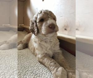 Goldendoodle Puppy for Sale in BYRAM, Mississippi USA
