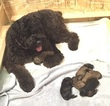 Bouvier Des Flandres Puppy For Sale in PORT SAINT LUCIE, FL, USA