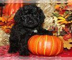 Puppy 2 Bernedoodle-Poodle (Miniature) Mix