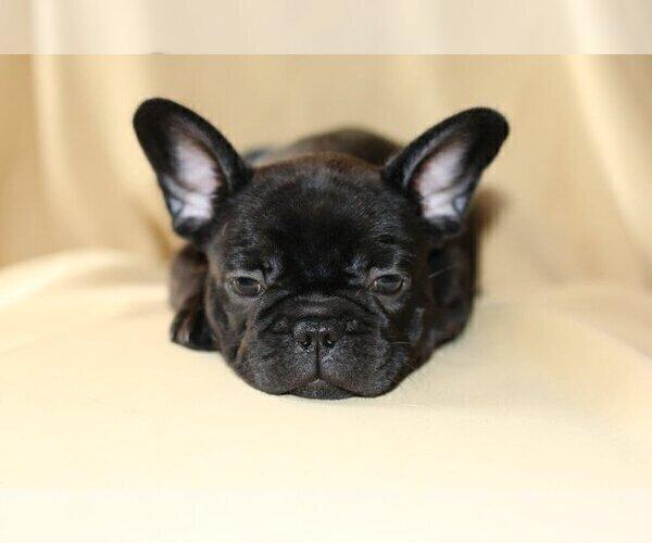 Medium Photo #3 French Bulldog Puppy For Sale in PALOS VERDES ESTATES, CA, USA