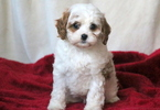 Cavapoo Puppy For Sale in MOUNT JOY, PA, USA