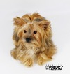 Yorkshire Terrier Puppy For Sale in ROANOKE, Texas,