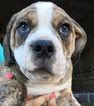 Olde English Bulldogge Puppy For Sale in CANYON LAKE, TX