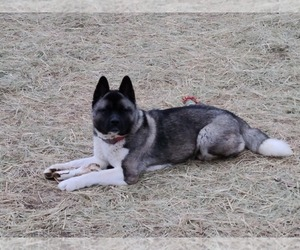 Mother of the Akita puppies born on 08/21/2020
