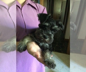 Schnauzer (Miniature) Puppy for sale in MIDDLEFIELD, OH, USA