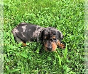 Dachshund Puppy for sale in ROWLEY, MA, USA