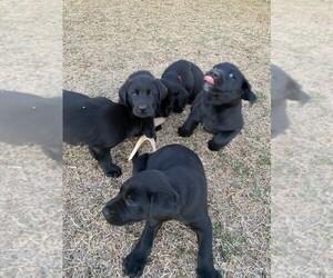 Labrador Retriever Puppy for sale in GUTHRIE, OK, USA