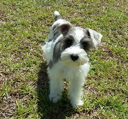 Schnauzer (Miniature) Puppy for sale in WATERFORD, PA, USA