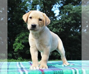 Labrador Retriever Puppy for sale in GREENCASTLE, PA, USA
