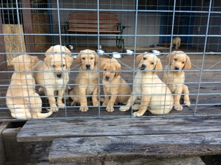 Labrador Retriever Puppy For Sale in WILLITS, CA, USA