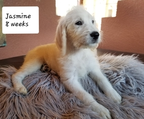 Labradoodle Puppy For Sale in BRANDON, FL, USA