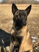 Belgian Malinois Puppy For Sale in WEST PLAINS, Missouri,