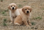 Golden Retriever Puppy For Sale in CLEMENTS, Maryland,