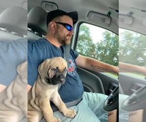 Cane Corso Puppy for Sale in MOORESVILLE, North Carolina USA