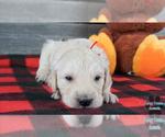 Puppy 8 English Cream Golden Retriever-Poodle (Standard) Mix