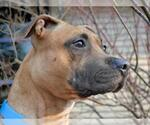 Small #10 American Pit Bull Terrier Mix
