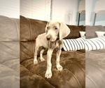 Puppy 2 Weimaraner