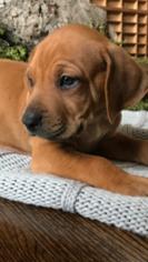 Rhodesian Ridgeback Puppy For Sale in CARROLLTON, GA, USA