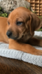 Rhodesian Ridgeback Puppy For Sale in CARROLLTON, GA, USA